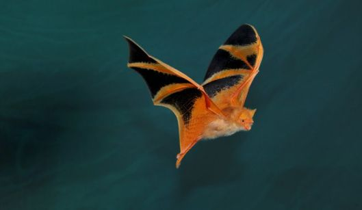 Pained-Bat-Southeast-Asia-Kerivoula-picta-flying.jpg.838x0_q80
